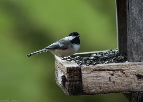 ontario canada birds easter jane hatch nut goderich portalbert huroncounty