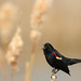 Male redwing blackbird by fred.colbourne