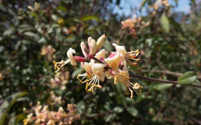 Southern honeysuckle (Lonicera subspicata var. denudata)