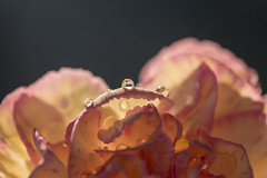 Mini Carnation Last Light_1
