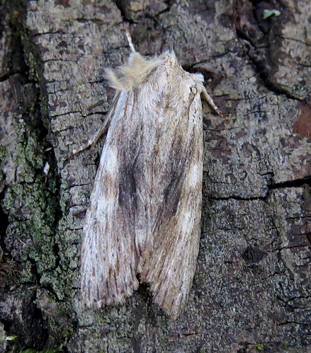 Pale Pinion Lithophane socia Tophill Low NR, East Yorkshire April 2016