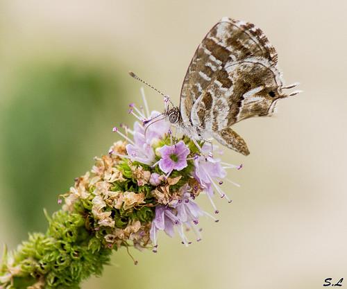 Papillon sur menthe