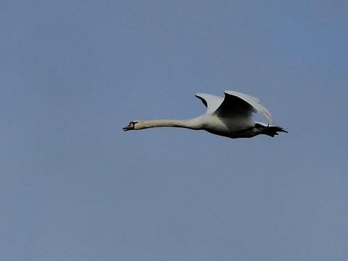 Mute Swan 20151227
