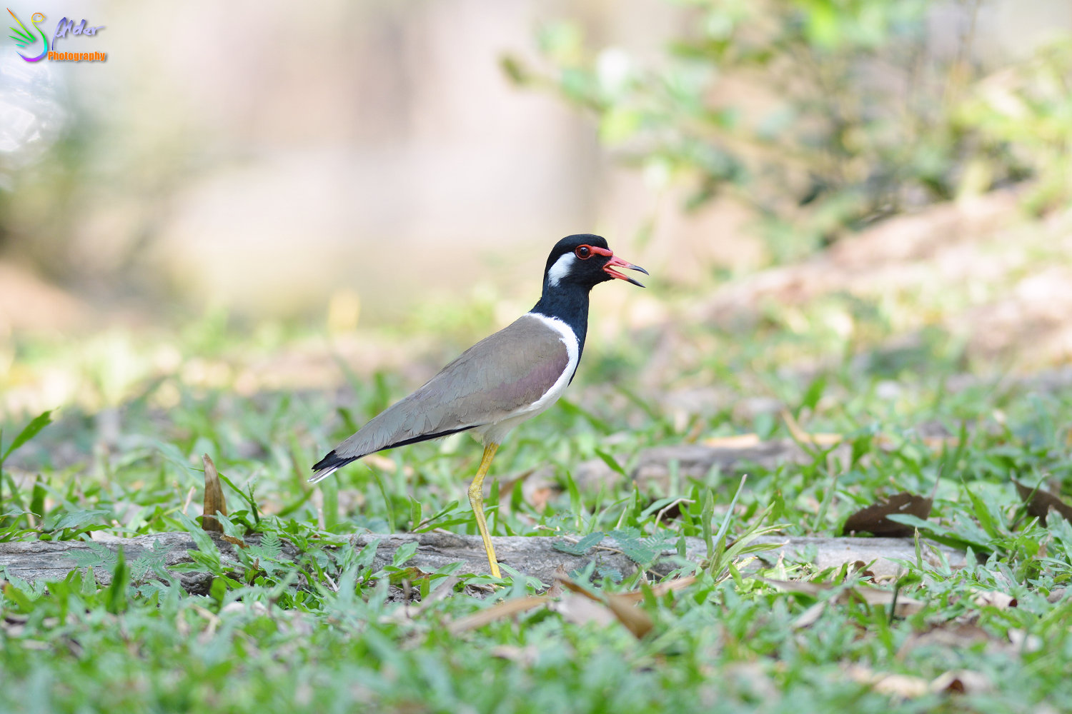 Red-wattled_Lapwing_0285_IJFR