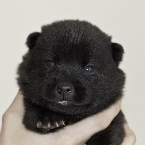 Kumi-Litter5-Day20-Puppy4-Female-a