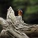 Azure Kingfisher by Edwinna Bartley