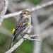 Yellow-rumped Warbler (Setophaga coronata) - West Vero, FL