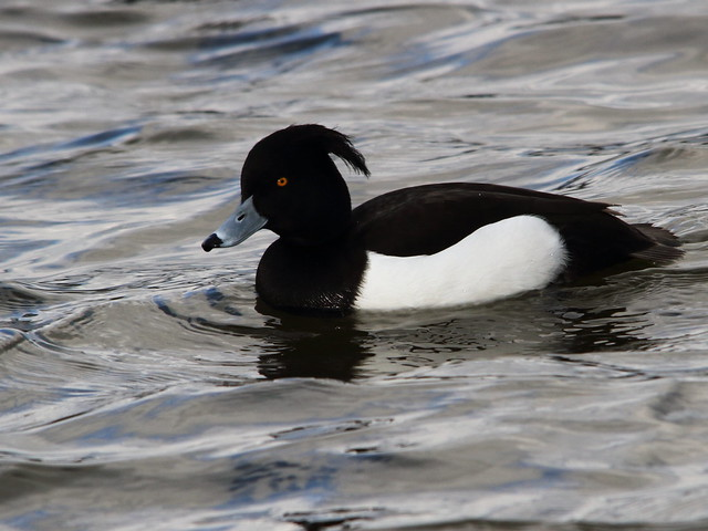 Tufted Duck at Yeadon Tarn