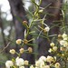 Small photo of Acacia genistifolia (Spreading Wattle)