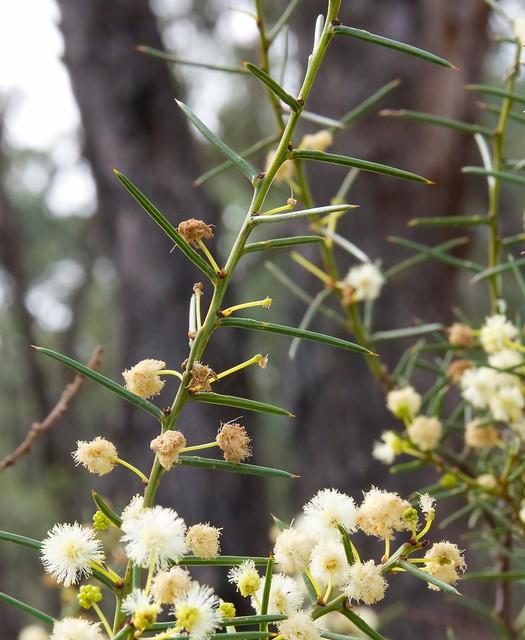 Header of Acacia genistifolia