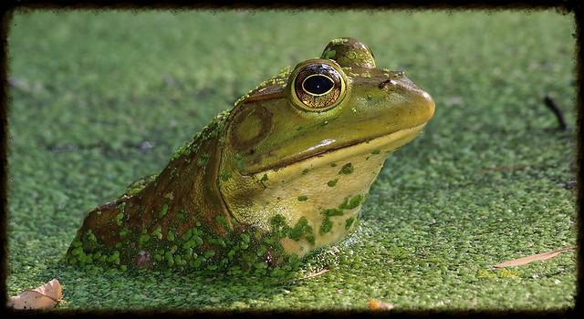 American bullfrog.