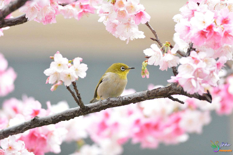 Sakura_White-eye_8165