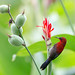 Crimson Sunbird (Aethopyga siparaja) by PAULO.COTERIANO