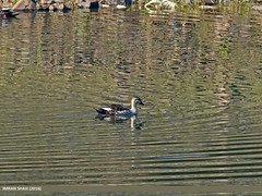 Spot-billed Duck (Anas poecilorhyncha)