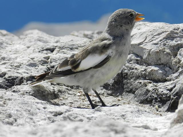 Fringuello alpino / White-winged Snowfinch (Montifringilla nivalis)
