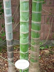 Dypsis cabadae (Arecaceae)