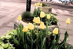 Flores da Sérvia - Belgrado