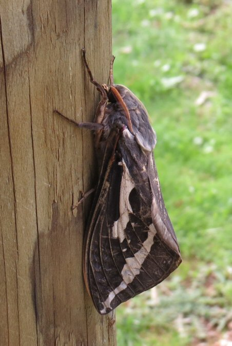 Abantiades barcas Ghost Moth R Sharp
