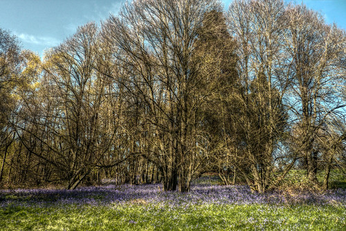 Bluebells in Shrawley Wood