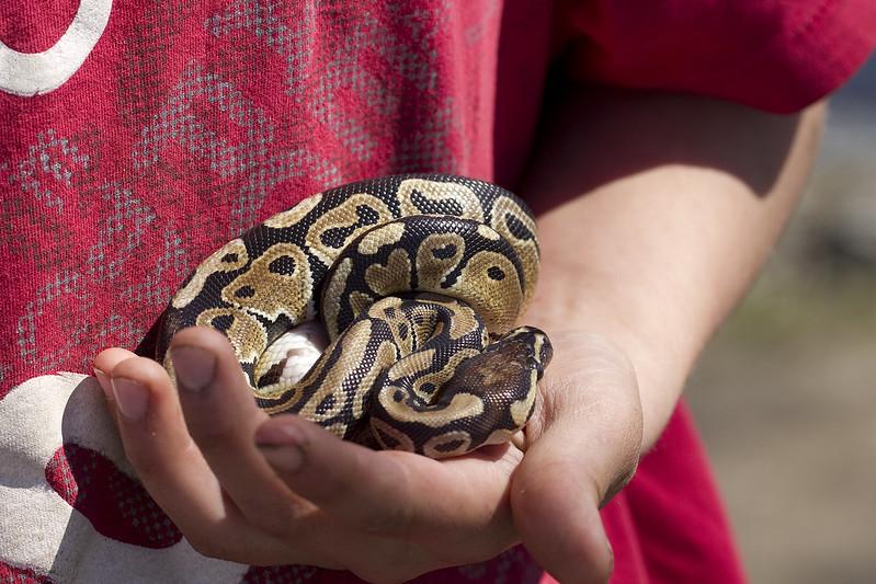 ball python7