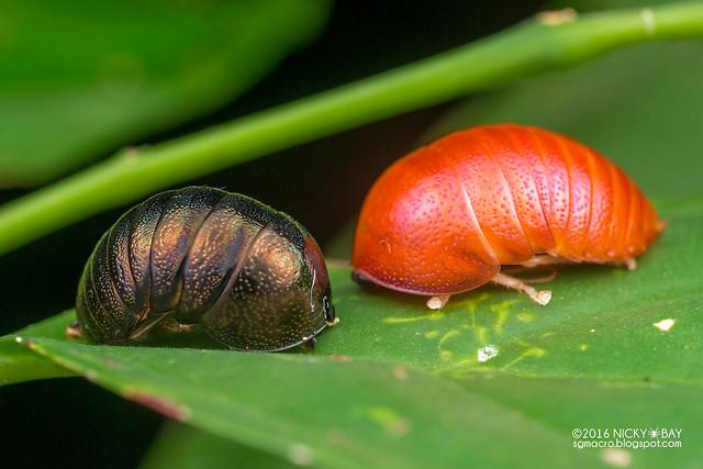 Pill cockroach (Perishpaerus sp.) - DSC_0312