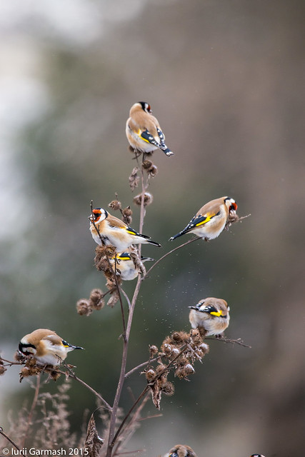 Goldfinch decorated christmas tree.