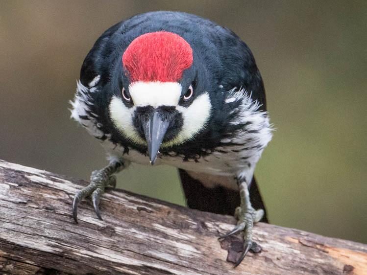 Acorn Woodpecker--Melanerpes formicivorous