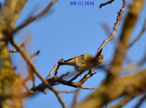 bird spring european greenfinch tavasz vogel frühling carduelis chloris grünfink madár zöldike énekesmadár
