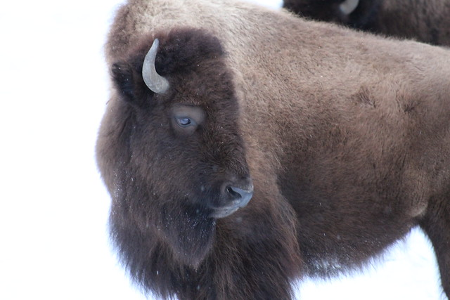 Photo of Yellowstone Bison