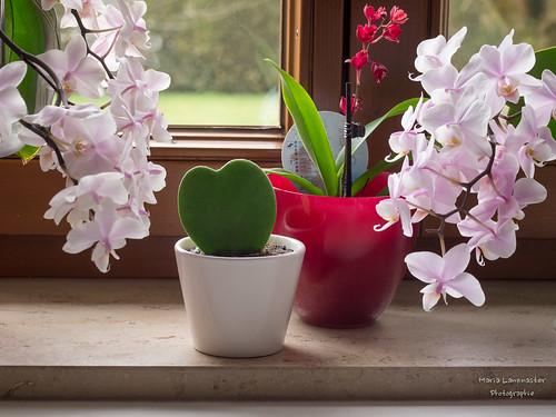 Hoya kerrii und Orchideen
