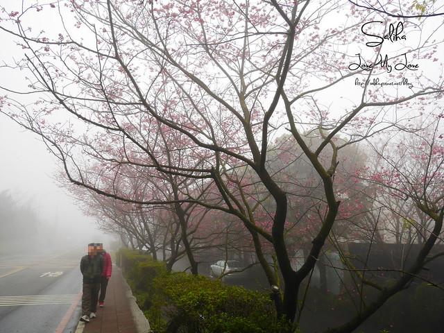 台北一日遊景點陽明山花季賞櫻花 (38)