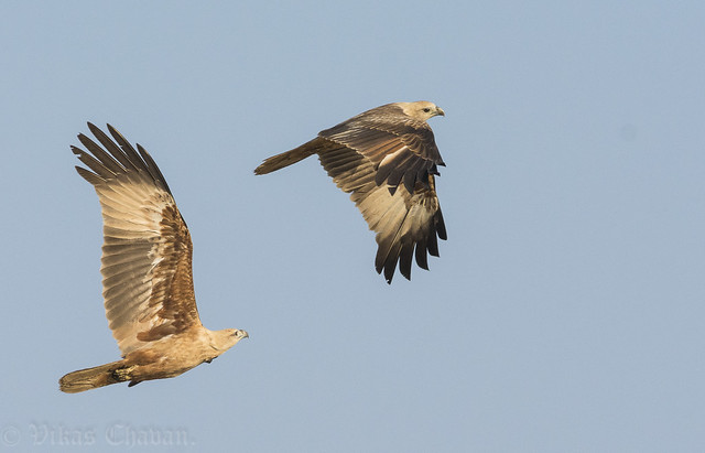 Catch me if you can - Juvenile Brahminy Kites.