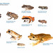 Some Common Frogs of Panama