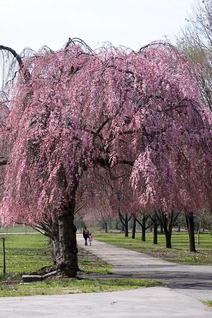 Cherry BlossomsIMG_2622_01