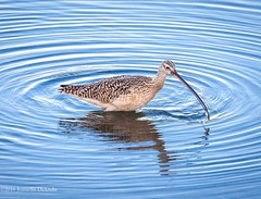 Curlew and fish...