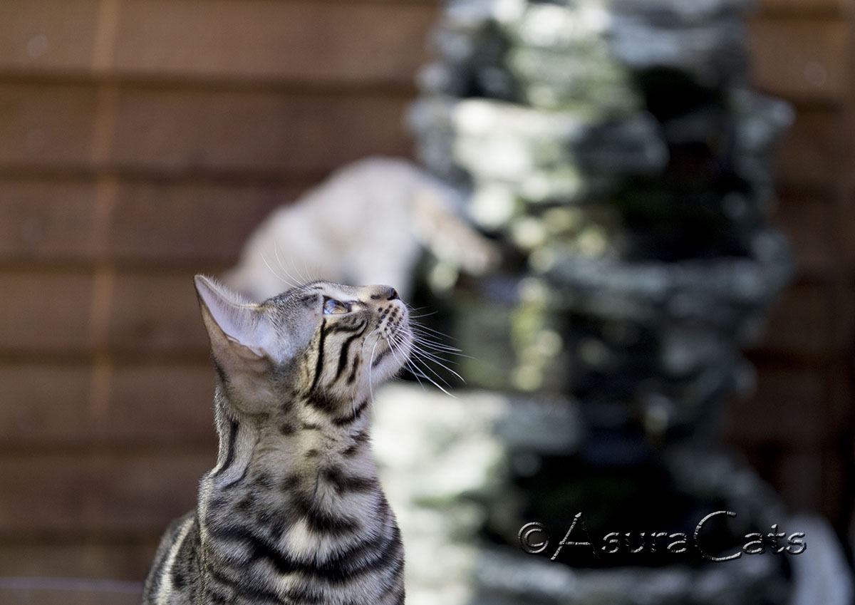 AsuraCats Cersei - Brown spotted/rosetted Bengal female