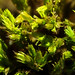 Small photo of Orthotrichum affine
