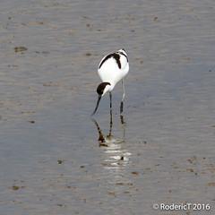 20160409-ROTL2585 Avocet Titchwell RSPB Reserve North Norfolk.jpg