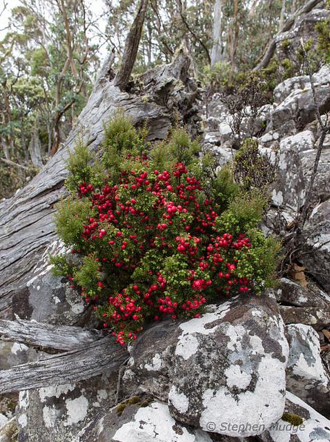 Mountain Berries, Mt Wellington