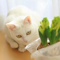 「もうすぐ咲くかにゃ?」 ヒヤシンス見張り番。 #nekomikan #みかん #ヒヤシンス #しろねこ #白猫 #ねこ #猫 #whitecat