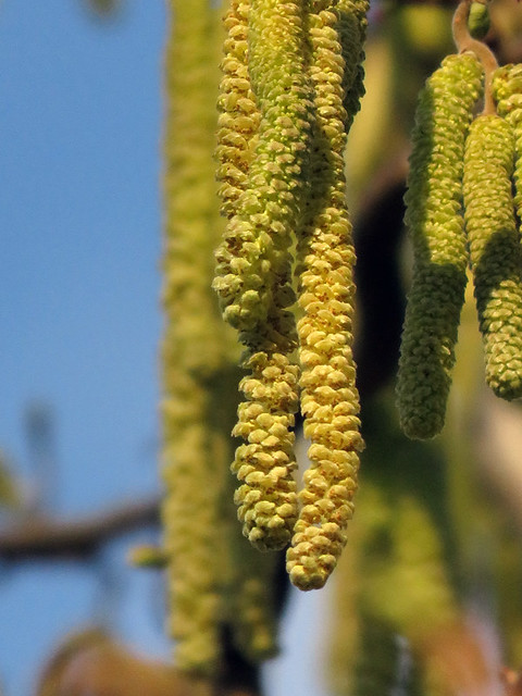 the yellow catkins of the Corkscrew Hazel in Vancouver's Queen Elizabeth Park in February