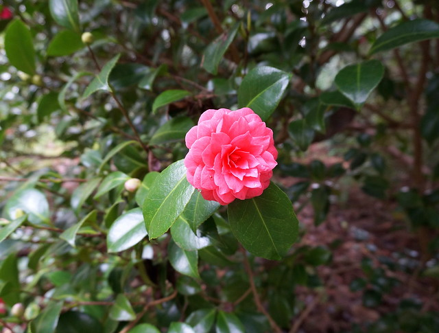 pink camellia crop