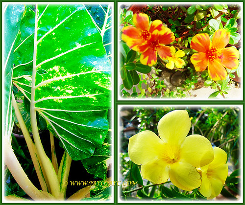 The yellows and orange (Variegated Giant Alocasia, Orange/Yellow Moss Rose, Yellow Allamanda) at our front yard, March 20 2016