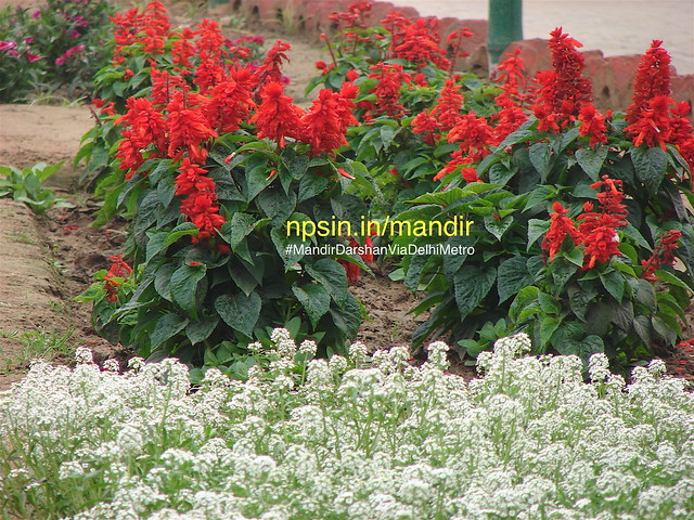 The combination of red green and white color of plants attracts all devotee.