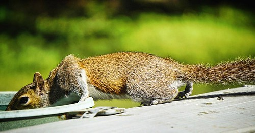 The Thirsty Squirrel - #thirsty #squirrel #rodent #animal #waterbath #backyard #westpointga #troupcountyga #exploregeorgia #theamericancollective #the_home_front #country_features #scene #scenery #landscape #ig_countryside #picoftheday #picturedixie #pict