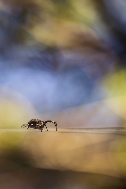 Spider - Bourgoyen-Ossemeersen, Gent, Belgium