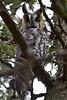 Long-eared Owl (Asio otus) by bryan_teat