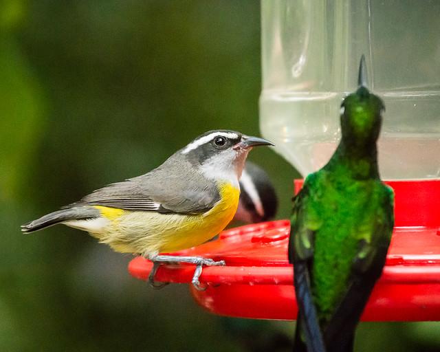 Bananaquit & hummingbird