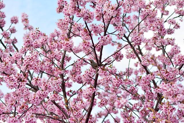 陽光桜をついばむヒヨドリ