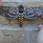 Tobacco Hornworm Moth